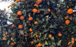 Продаю мандарины из собственного сада